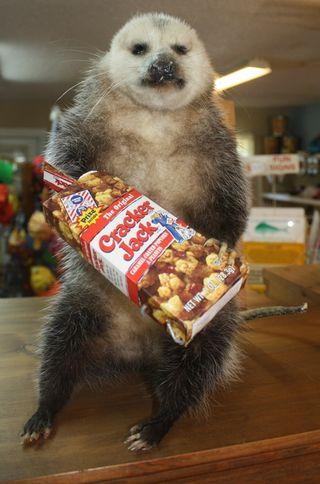 The Cracker Jack eating stuffed possum