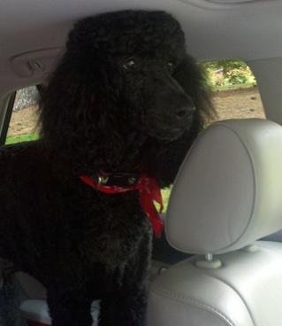 Doolittle, the 90 pound poodle