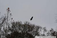 A turkey buzzard flies over Hard Labor Creek