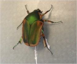 Actually a nice shot of the June Bug