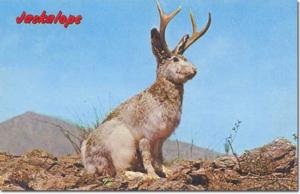 Bob Petley Jackalope Postcard