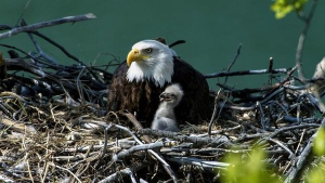 Parent like an Eagle