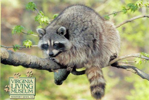 Raccoon at The Virginia Living Museum