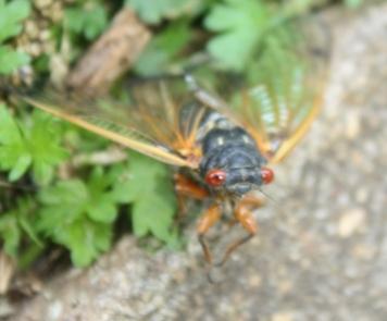 Cicada_Juliette
